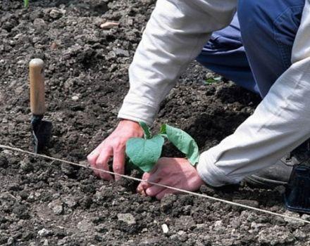 Cómo plantar correctamente berenjenas en campo abierto: esquema de siembra, medidas agrotécnicas, rotación de cultivos