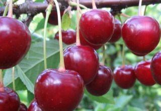 A Vladimirskaya cseresznyefajta leírása, a gyümölcs- és beporzó tulajdonságai, ültetés és gondozás