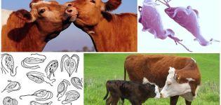 A szarvasmarhák trichomoniasisának okai és tünetei, kezelése és az emberre veszélyes