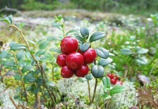 Plantación y cuidado de arándanos rojos de jardín, reproducción y cultivo en el país.