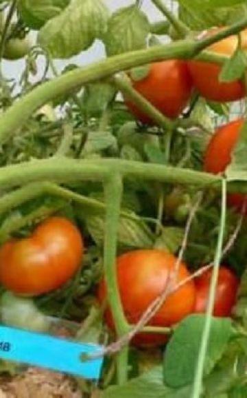 Caracteristici și descriere a soiului de roșii Umplere, producție și cultivare albă