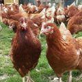 Características y descripción de los pollos Loman Brown, productividad y mantenimiento.