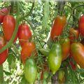 Najlepšie a najproduktívnejšie odrody paradajok pre Sibír v skleníku