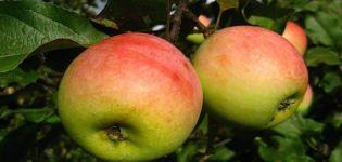 Opis odrody jabloní Pobeda (Chernenko) a výnosových charakteristík
