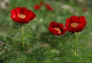 Descrierea bujorului cu frunze subțiri, plantarea și îngrijirea în câmp deschis