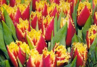 Opis ranih i kasnih dvostrukih tulipana, značajke sadnje i njege