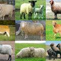 Noms et caractéristiques des meilleures et grandes races de moutons à viande, élevage
