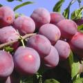 Cómo plantar, cultivar y cuidar la ciruela cereza, selección de variedades.