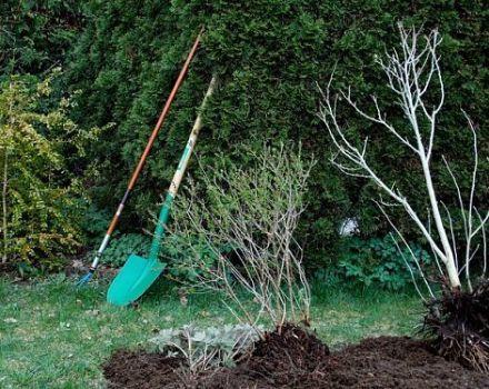 Ako správne zasadiť jabloň, ak je podzemná voda blízko, výber odrody a pravidlá starostlivosti