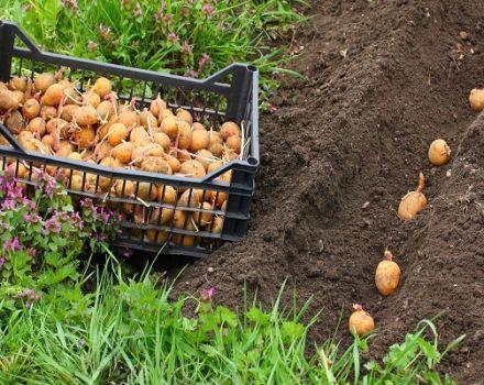 A Riviera burgonyafajtájának, a mezőgazdasági technológiának és a termesztési szabályoknak a leírása