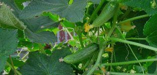 Descripción de la variedad de pepino Ginga, características de su cultivo y cuidado.