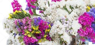 Descrierea a 24 de soiuri și tipuri de statice (kermek), plantare și îngrijire în câmp deschis