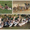 Descripción y características de los patos de la raza Bashkir, pros y contras.