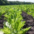 A készítmények típusai és a herbicidek felhasználása a répa feldolgozásához