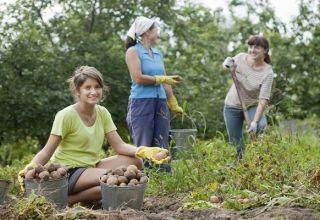 Načasovanie, koľko zemiakov rastie a dozrieva od výsadby po úrodu?