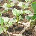 Cum și când să plantezi corect conopida în aer liber