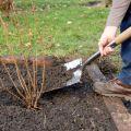 Πότε και πώς να φυτέψετε σταφίδες σωστά για μια καλή συγκομιδή