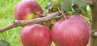 A Babushkino almafajta, a gyümölcsök tulajdonságainak és a betegségekkel szembeni ellenálló képességnek a leírása