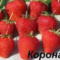 Descripción y características de la variedad de fresa Corona, cultivo y cuidados