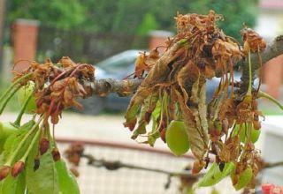 Hoe kersen tegen ongedierte in de lente en herfst te behandelen, controlemethoden en bescherming