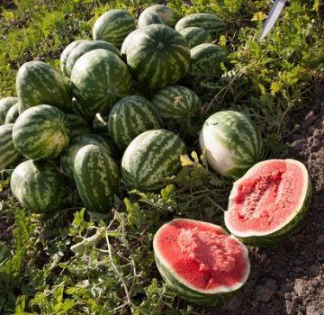 Χαρακτηριστικά της καλλιέργειας καρπουζιών του Αστραχάν, της ωρίμανσης της Κόρδας και του τρόπου διάκρισης των ποικιλιών