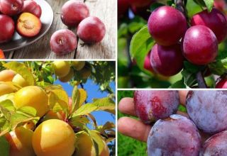 Beneficiile și prejudiciile prunelor pentru sănătatea organismului uman, contraindicații și proprietăți