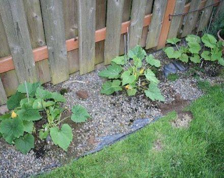 Cómo cultivar y cuidar el calabacín en campo abierto.