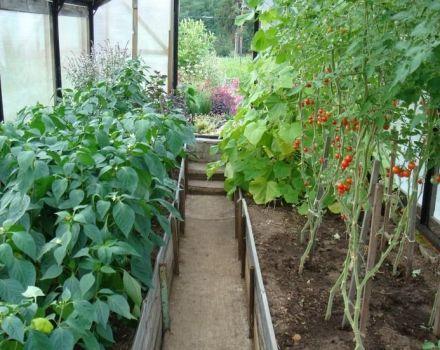 Je možné pestovať papriku spolu alebo vedľa paradajok v rovnakom skleníku alebo na otvorenom poli