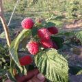 A Patricia málnafajta leírása és jellemzői, ültetés, termesztés és gondozás