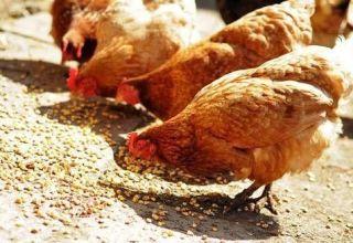 ¿Cuántos gramos de alimento debe dar una gallina al día?