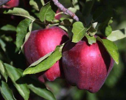 Descripción y características, ventajas y desventajas de las manzanas Red Delicious, las sutilezas del cultivo.