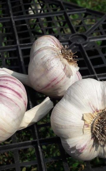 Opis sorte ljubičastog češnjaka Kharkov, značajke uzgoja i njege