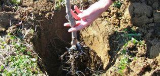 Pestovanie marhúľ na Urale na otvorenom poli, opis odrôd a starostlivosti o zimu
