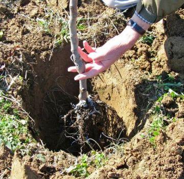 Pestovanie marhúľ v Urali na otvorenom poli, opis odrôd a starostlivosti o zimu