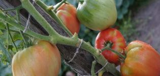 Descripción de la variedad de tomate Dacosta portuguesa y sus características