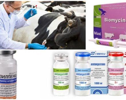 A szarvasmarhában a klostridiosis jelei és diagnosztizálása, kezelés és megelőzés