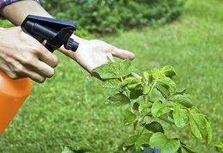 Wie man Kohl von Schädlingen mit Ammoniak behandelt