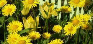 Proprietăți medicinale și contraindicații ale Monarda, utilizarea acesteia