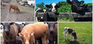 ¿Por qué los terneros a veces comen tierra y qué hacer?
