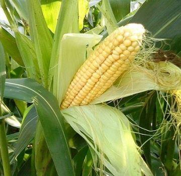Parhaimmat maissin edeltäjät vuoroviljelyssä, joka voidaan istuttaa jälkeen