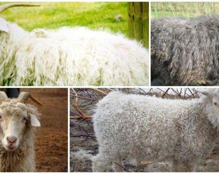 Top 8 rase de capre, caracteristicile și comparația lor