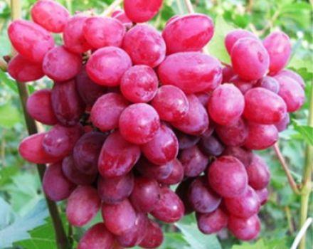 A szófiai szőlőfajta jellemzői, a gyümölcs- és termesztési jellemzők leírása