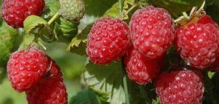 Descrierea zmeurii remontante din soiul Bryanskoe Divo, în creștere și îngrijire