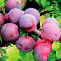Descrierea celor mai bune soiuri și hibrizi de prune pentru regiunea Moscova, plantare și creștere
