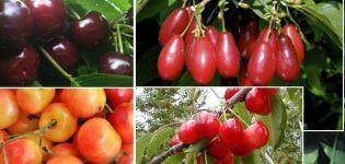 Les meilleures variétés de cerises pour la Russie centrale, autofertiles, précoces et sous-dimensionnées