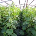 Tehnologia și secretele cultivării și îngrijirii castraveților într-o seră din policarbonat