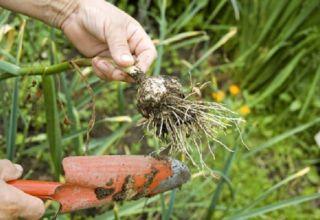 Când trebuie să îndepărtați usturoiul de primăvară din grădină pentru depozitare?