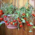 Características y descripción de la variedad de tomate Arándano en azúcar, su rendimiento.