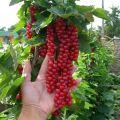 TOP 50 καλύτερες ποικιλίες κόκκινων σταφίδων με περιγραφή και χαρακτηριστικά