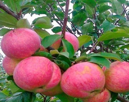 Descrierea soiului de măr Aelita, caracteristicile rezistenței la îngheț și regiunilor în creștere